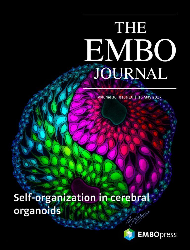 EMBO Journal Cover – Self Organization in Cerebral Organoids